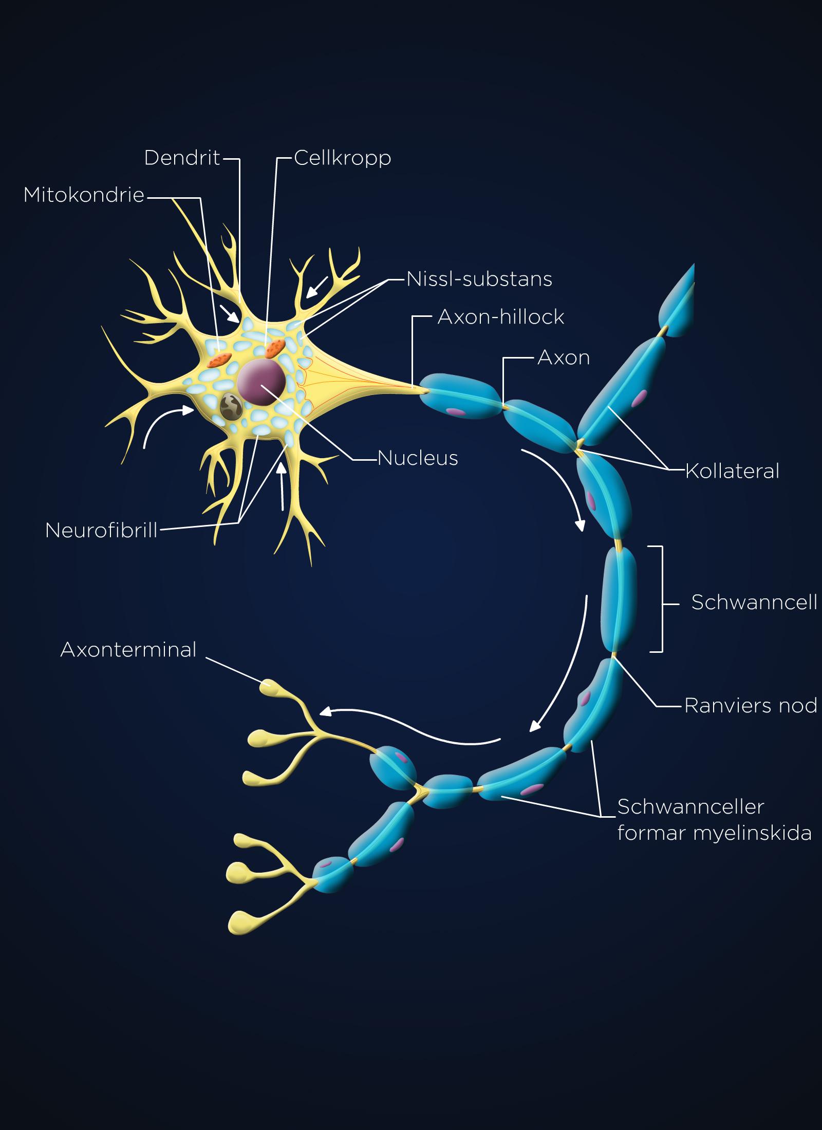 Cell scheme anatomy 2d vector image