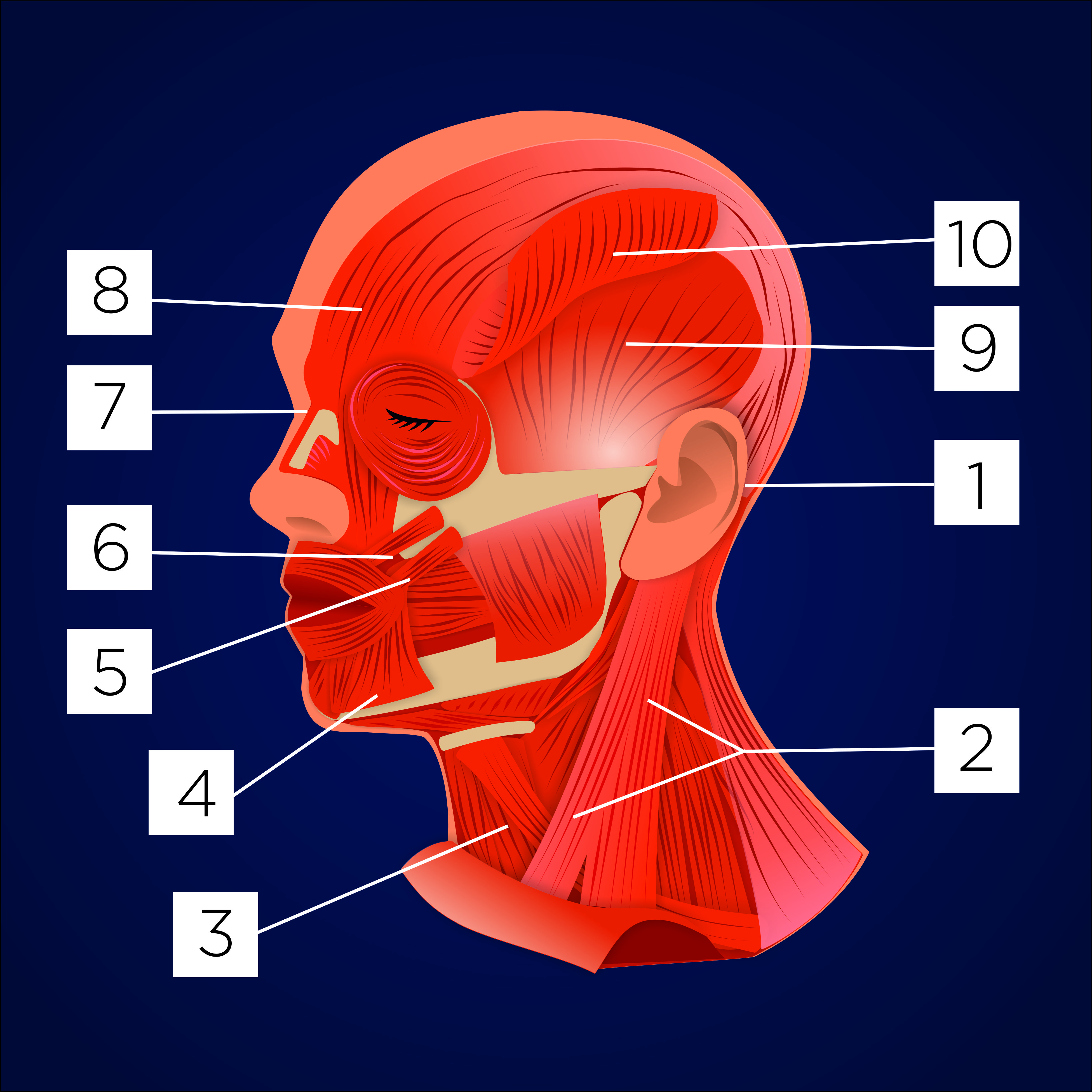 Head muscle 2d anatomy vector image