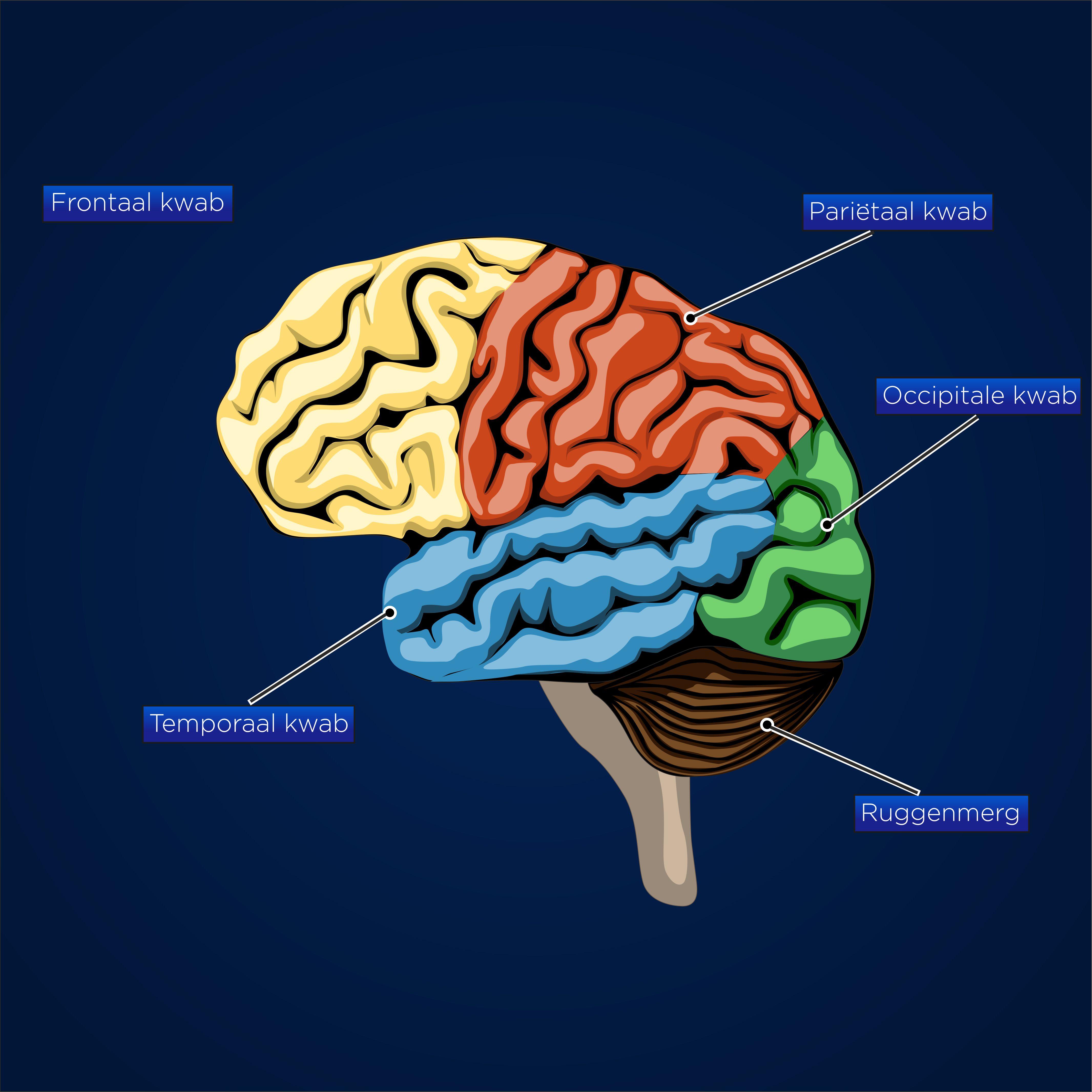 Anatomy brain 2d vector scheme image