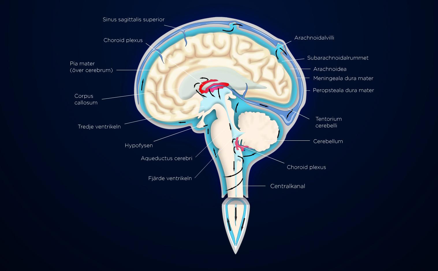 Brain scheme 2d vector anatomy model
